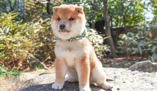 【豆助んち】唐草模様がチャームポイントの柴犬・豆助のYouTubeに注目!